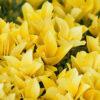 マサキの黄色い葉