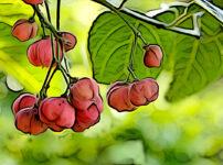 マユミの植物図鑑と育て方