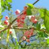 マユミの白い果実