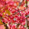 マユミのピンクの果実
