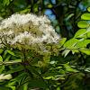ナナカマドの植物図鑑と育て方
