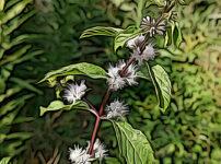 ニホンハッカの植物図鑑と育て方
