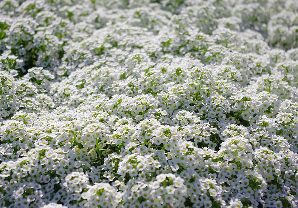 ニワナズナの白い花