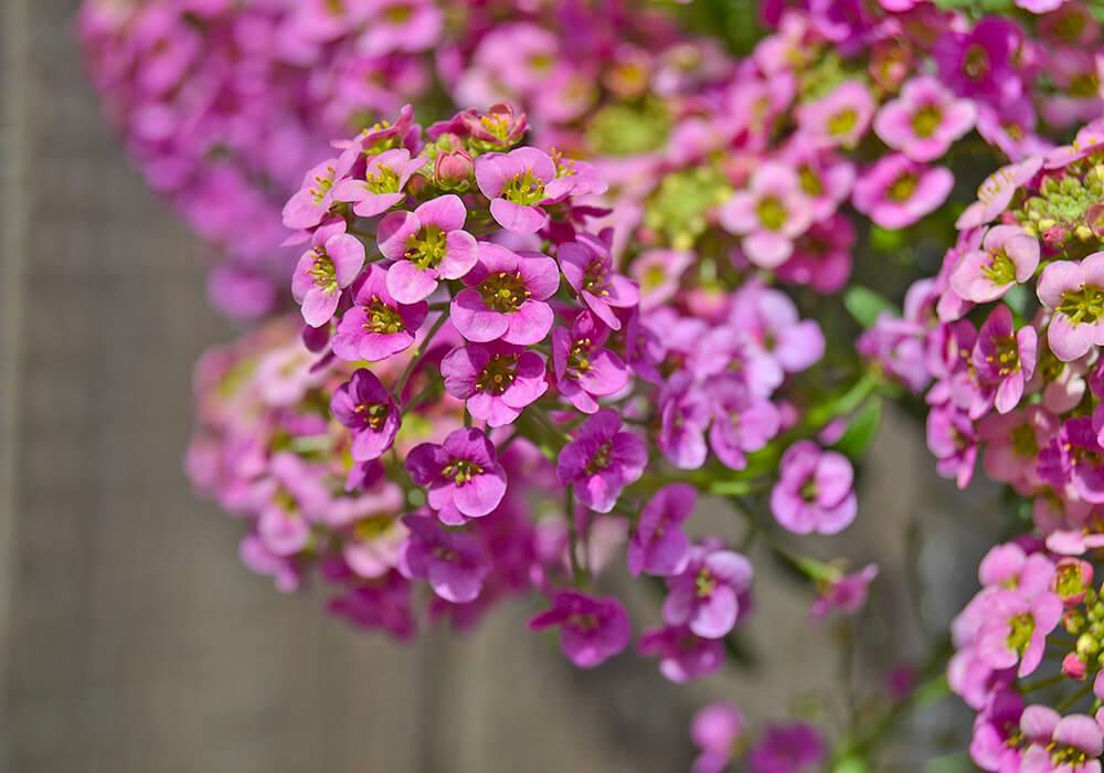 ニワナズナの花の拡大