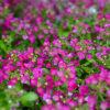 ニワナズナの紫の花