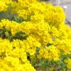 ニワナズナの黄色い花