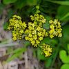 オミナエシの植物図鑑と育て方