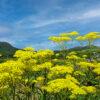 オミナエシの花畑
