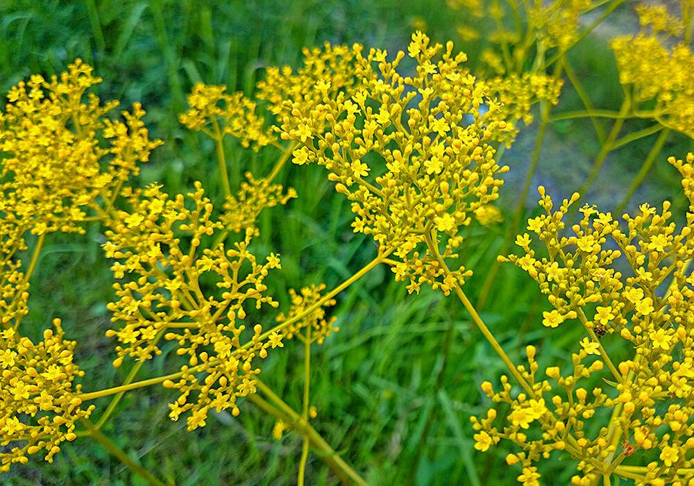 オミナエシの黄色い花