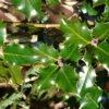 セイヨウヒイラギの葉