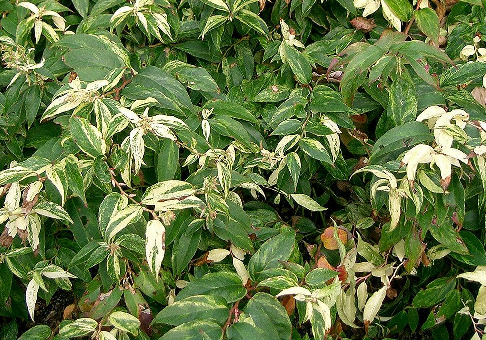 セイヨウイワナンテンの葉