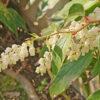セイヨウイワナンテンの花