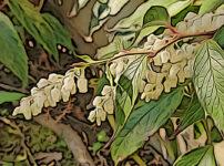 セイヨウイワナンテンの植物図鑑と育て方