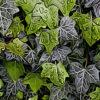 セイヨウキヅタの植物図鑑と育て方