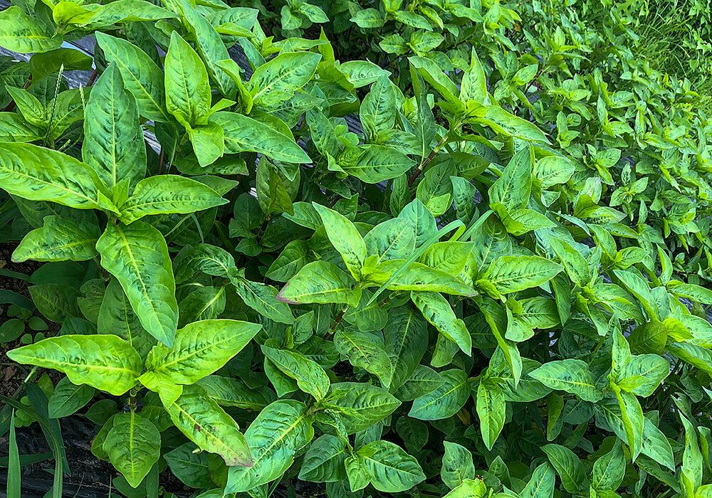 タデアイの葉