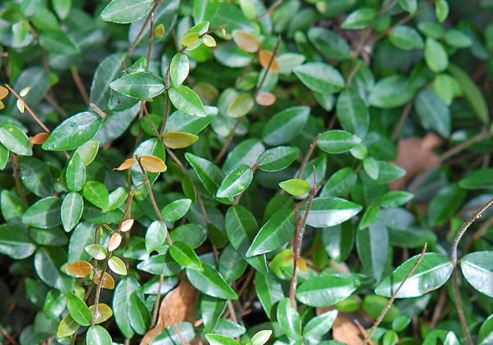 テイカカズラの葉