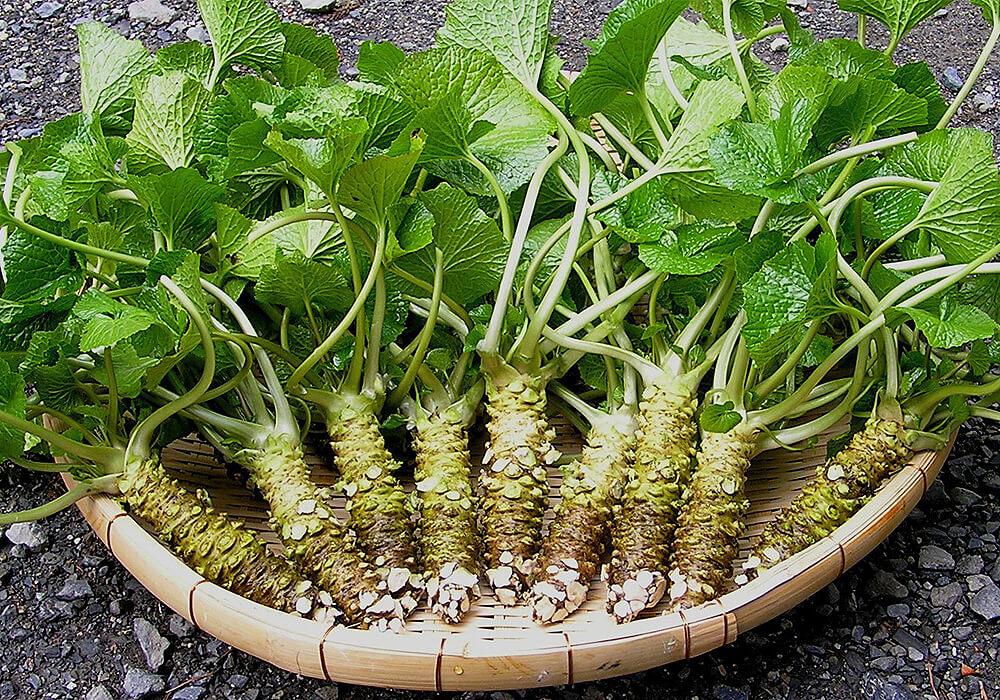ワサビの茎と葉