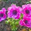 アネモネのピンクの花