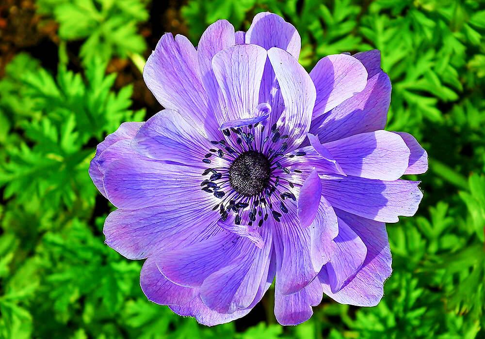 アネモネの紫の花