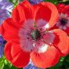 アネモネの赤い花