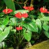 アンスリウムの花と葉
