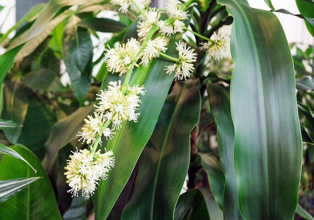 ドラセナの花と葉