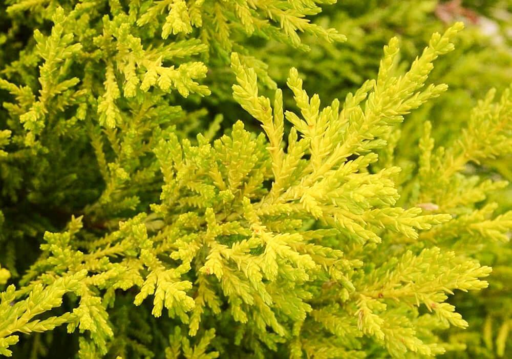 ゴールドクレストの黄色い葉