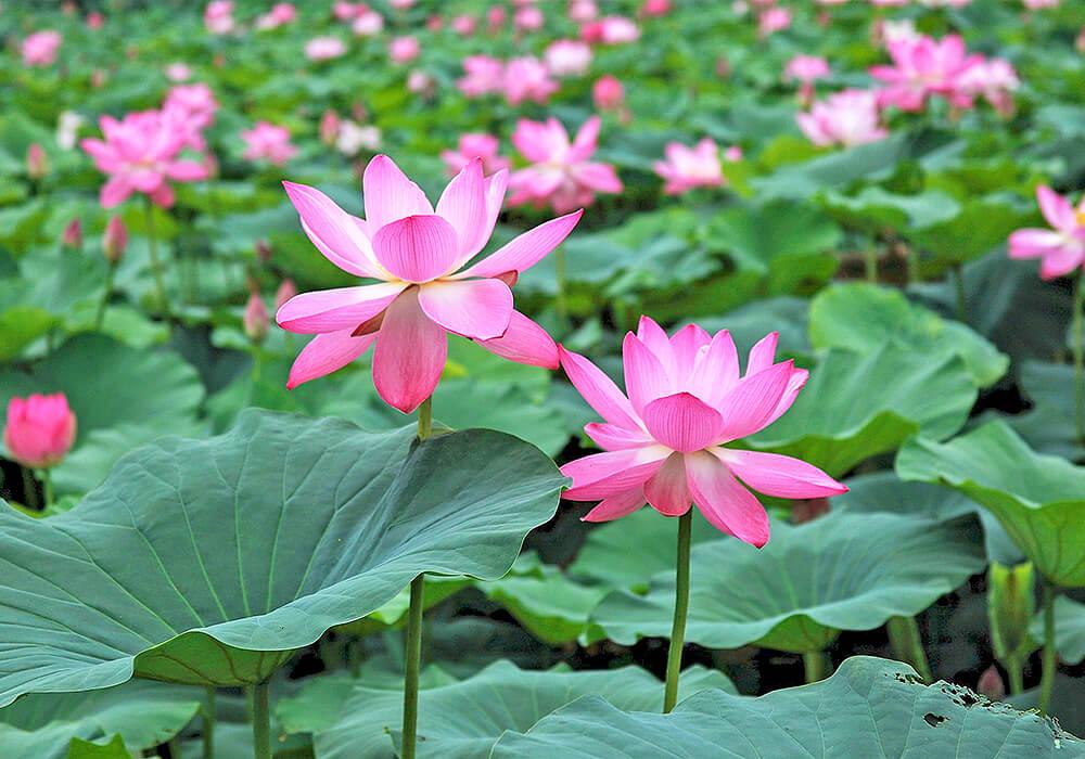 ハスのピンクの花