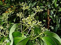クスノキの植物図鑑と育て方