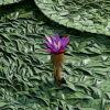 オニバスの植物図鑑