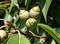 シラカシの植物図鑑と育て方