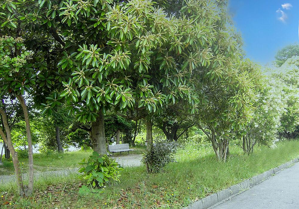 シラカシの木