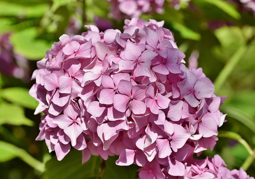 アジサイのピンクの花