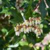 アセビの花と葉