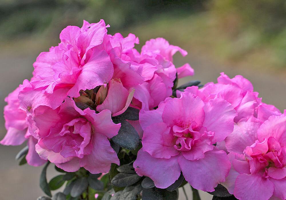 アザレアのピンクの花