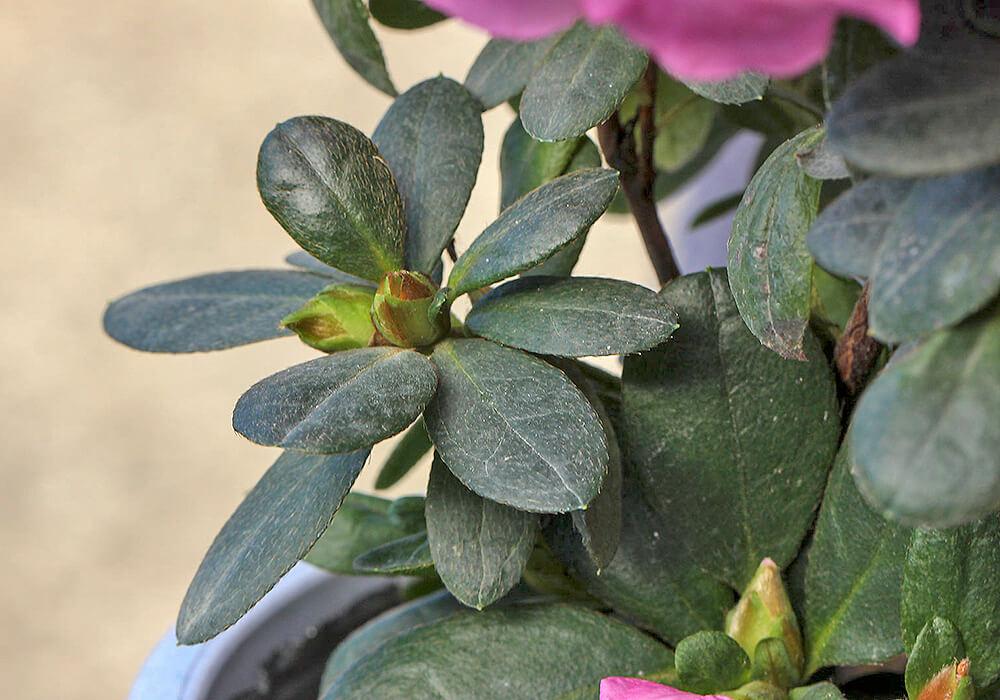 アザレアの葉と蕾