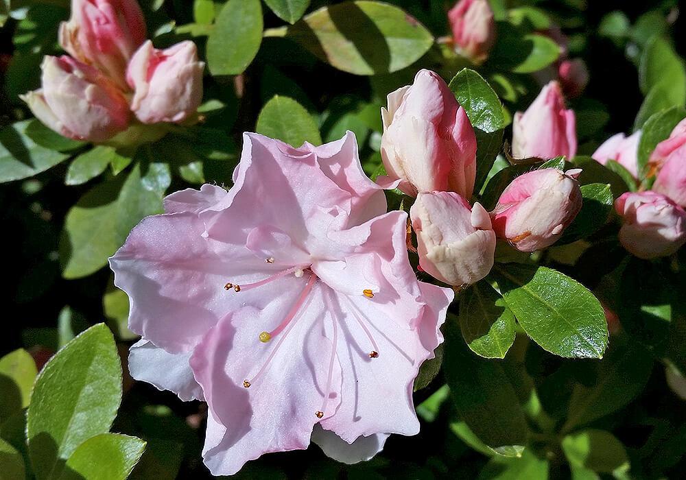 アザレアの花と葉