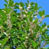 ギンモクセイの開花