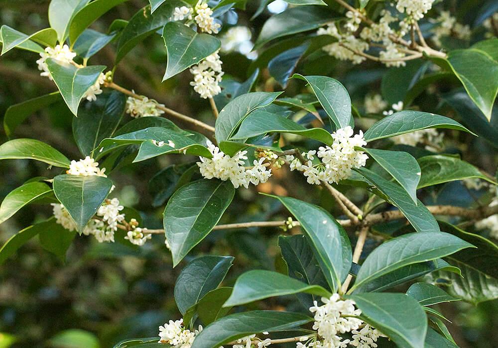 ギンモクセイの花と葉