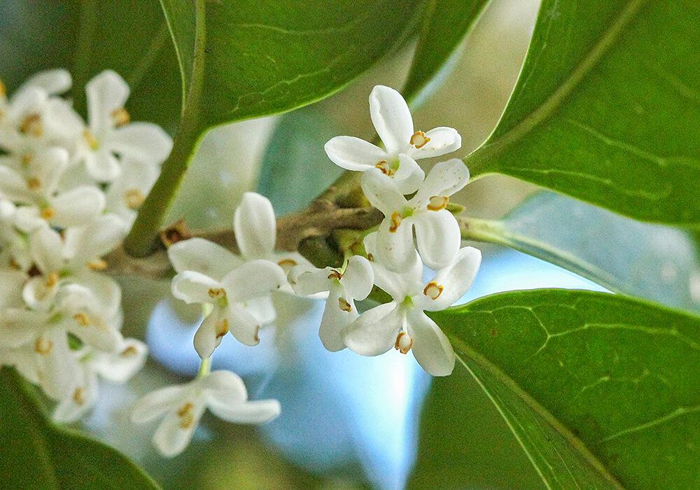 ギンモクセイの花の拡大