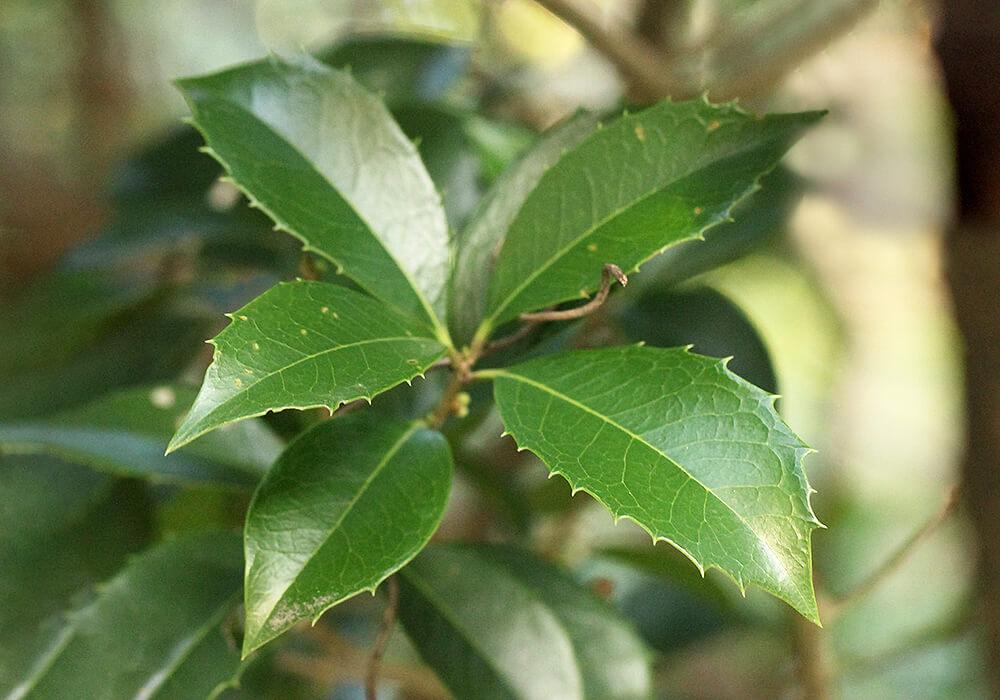 ギンモクセイの葉