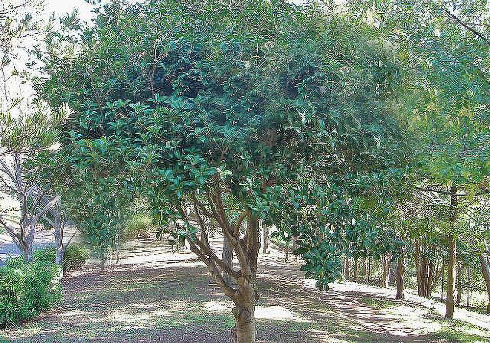 ギンモクセイの木