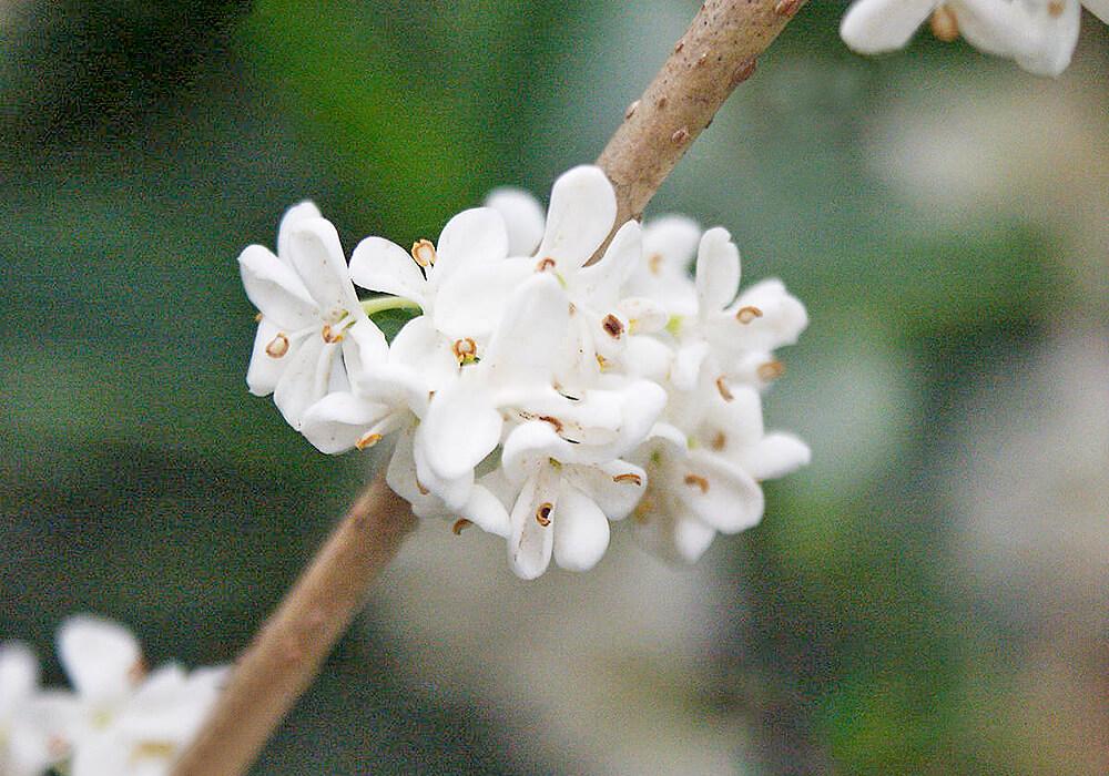 ヒイラギモクセイの花の拡大