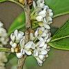 ヒイラギモクセイの植物図鑑と育て方