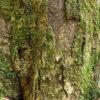 イチイガシの樹皮