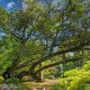 イチイガシの木