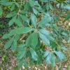 イチイガシの葉