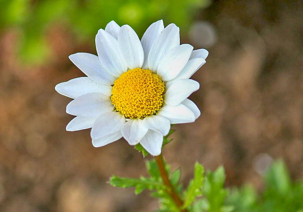 カンシロギクの花