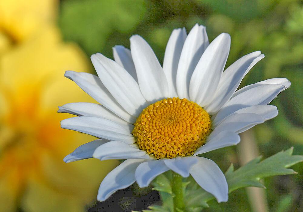 カンシロギクの花の拡大