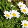 カンシロギクの花と芽